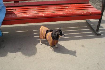 Собака в попоне