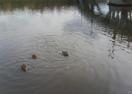 Утки плавали...