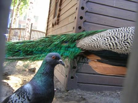 Голубь и хвост павлина
