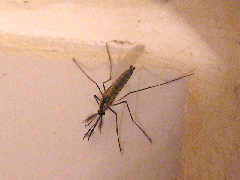 фото самца и самки комаров сюжет